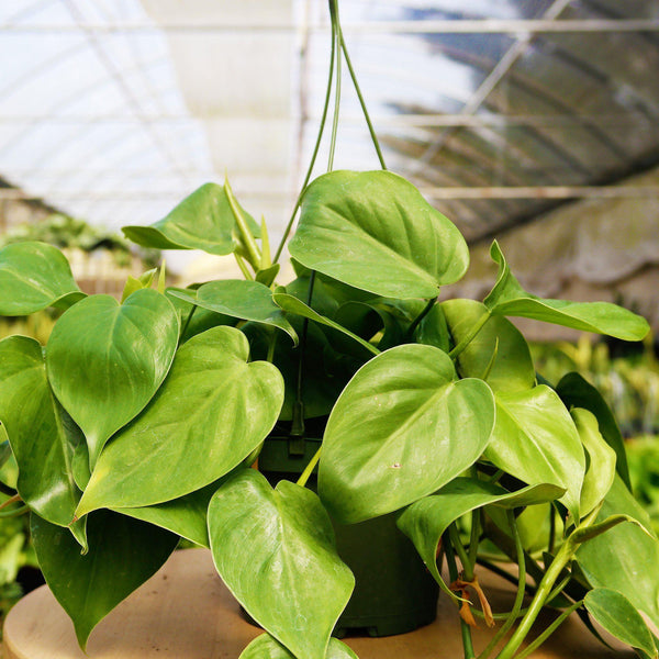 Philodendron Cordatum Heartleaf Philodendron Cordatum Heartleaf - Cellar Door PlantsHome & Garden House Plant Shop 6""