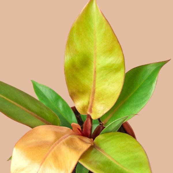 Philodendron 'Prince of Orange' Cellar Door Plants