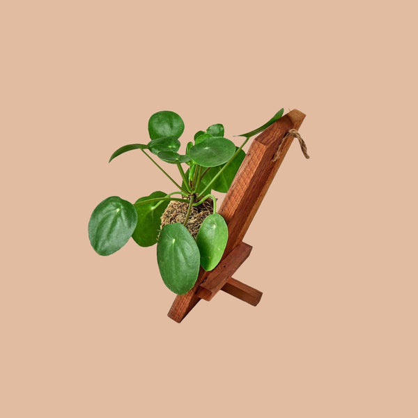 Pilea Peperomioides 'Chinese Money' with Wood Display Default House Plant Shop