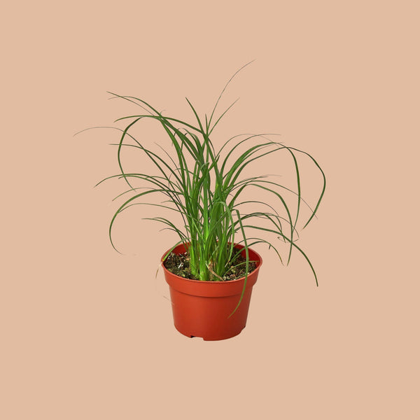 Ponytail Palm Tree Home & Garden House Plant Shop 4'