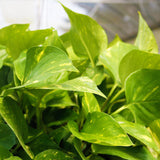 Pothos 'Green Queen' Pothos 'Green Queen' - Cellar Door PlantsHome & Garden House Plant Shop