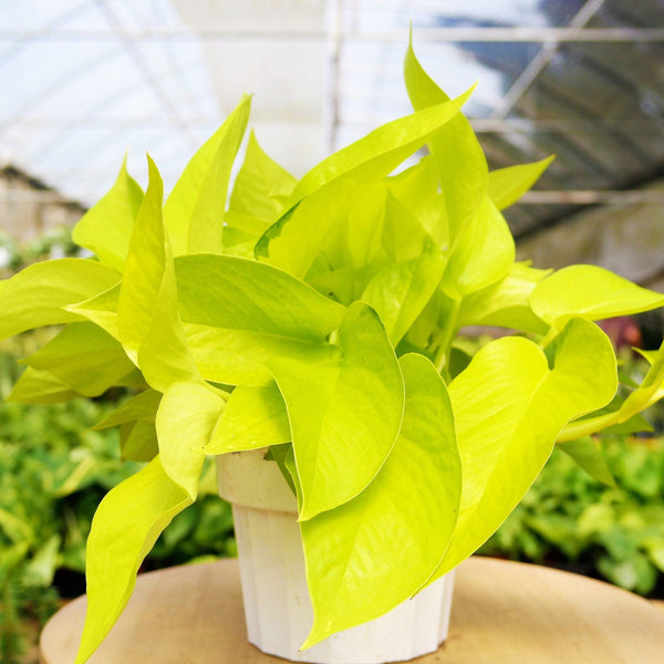 Pothos Neon Pothos Neon - Cellar Door PlantsIndoor Plants House Plant Shop