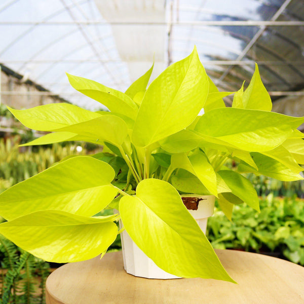 Pothos Neon Pothos Neon - Cellar Door PlantsIndoor Plants House Plant Shop 6""