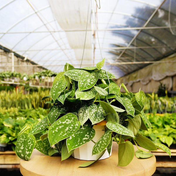 Pothos Satin Pothos Satin - Cellar Door PlantsIndoor Plants House Plant Shop