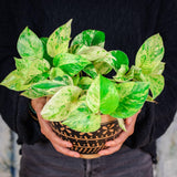 Pothos 'Snow Queen' Pothos 'Snow Queen' - Cellar Door PlantsIndoor Plants House Plant Shop