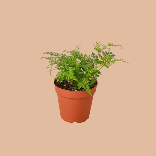 Rabbit Foot Fern Indoor Plants House Plant Shop
