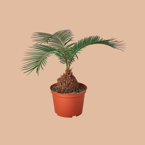 "Sago Palm 6"" Plant (1pk/$4.5) ($10 Ship/31oz) House Plant Shop"