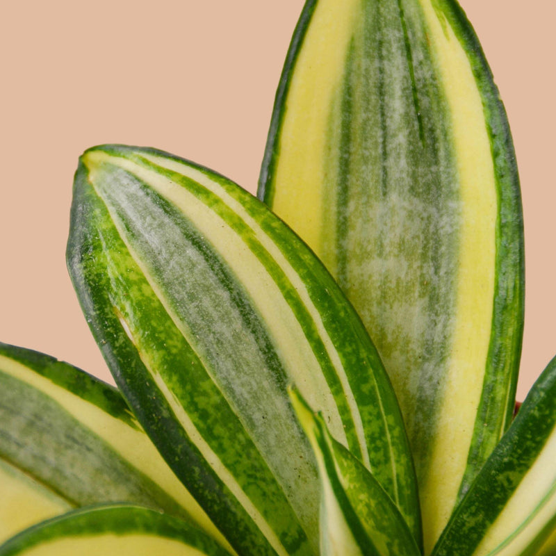 Snake Plant Gold Hahnii Indoor Plants House Plant Shop