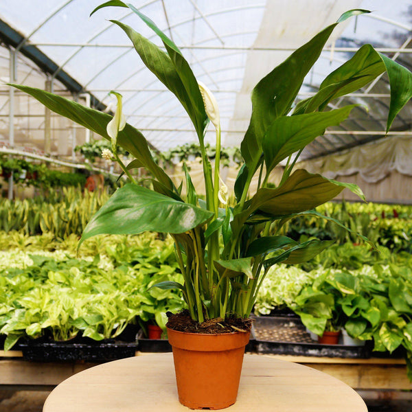 Spathiphyllum 'Peace Lily' Spathiphyllum 'Peace Lily' - Cellar Door PlantsDefault House Plant Shop