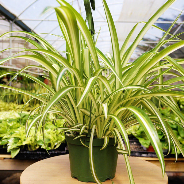 Spider Plant Hawaiian Spider Plant Hawaiian - Cellar Door PlantsHome & Garden House Plant Shop
