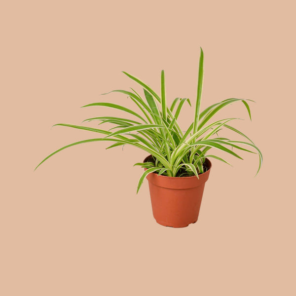 Spider Plant Reverse Home & Garden House Plant Shop 4""