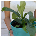 Staghorn Fern Staghorn Fern - Cellar Door PlantsHome & Garden House Plant Shop