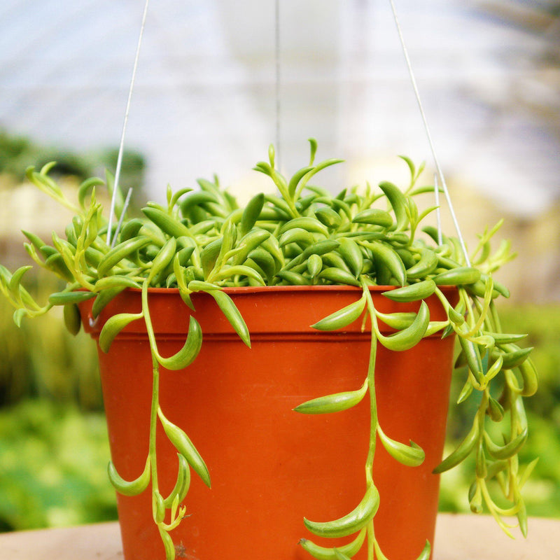String of Bananas String of Bananas - Cellar Door PlantsSucculent House Plant Shop 6""