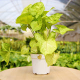 Syngonium Gold Syngonium Gold - Cellar Door PlantsHome & Garden House Plant Shop