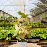 Syngonium Strawberry Syngonium Strawberry - Cellar Door PlantsIndoor Plants House Plant Shop
