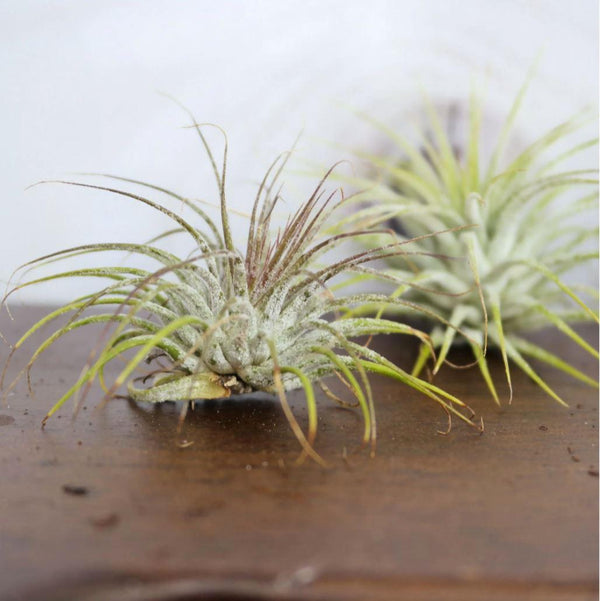Tillandsia Air Plant Ionantha Guatemala Tillandsia Air Plant Ionantha Guatemala - Cellar Door PlantsAir PLants House Plant Shop