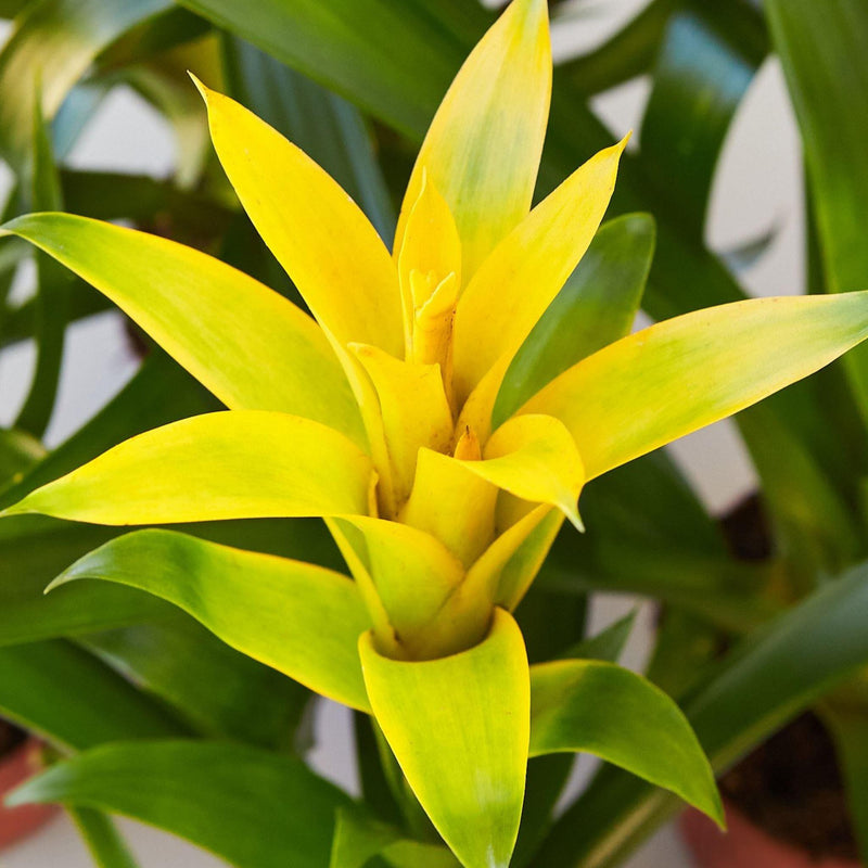 Yellow Guzmania Bromeliad Home & Garden House Plant Shop