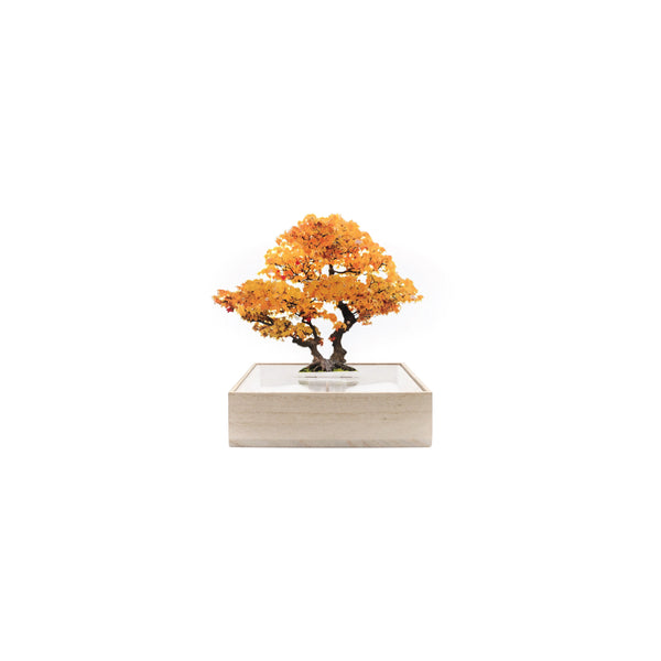 Toumei Mini Bonsai_Ginkgo Tree Yellow - OKURA