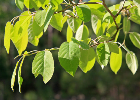 Amelanchier arborea – Downy Serviceberry