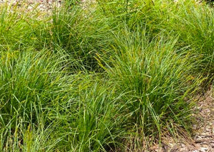 Carex vulpinoidea – Fox sedge