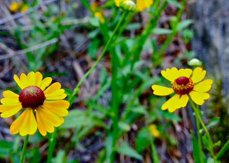 Helenium flexuosum – Purple-headed sneezeweed
