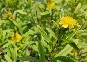 Hypericum prolificum – Shrubby St. Johns Wort