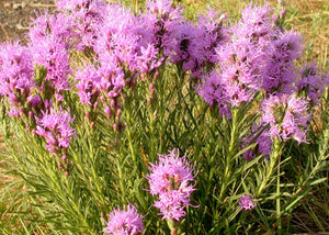 Liatris punctace – Dotted Blazing Star