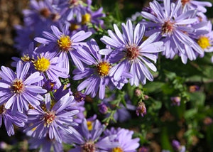 Symphyotrichum Laeve - Smooth blue aster