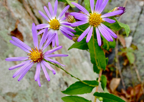 Symphyotrichum Patens - Late purple Aster