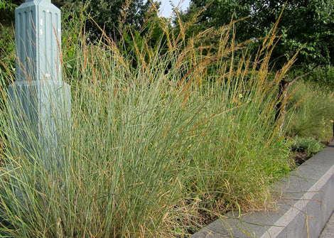 Sorghastrum nutans – Indian Grass