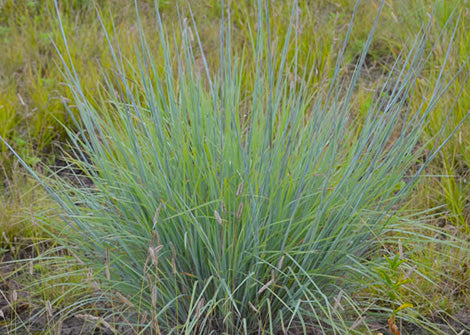 Schizachyrium scoparium – Little Bluestem