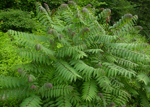 Rhus typhina – Staghorn sumac