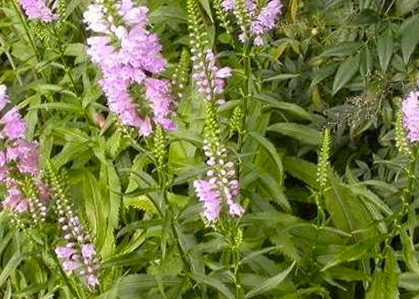 Physotegia virginiana – Obedient plant