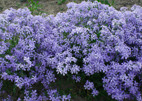 Phlox glaberrima interior – Smooth Phlox