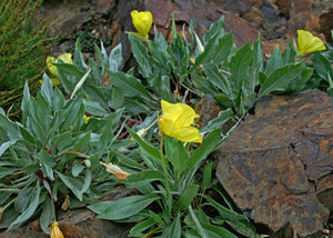 Oenothera macrocarpa – MO Evening/Large flowered primrose