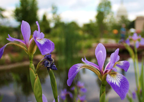 Iris virginica – Blue Flag Iris