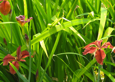 Iris fulva – Copper iris