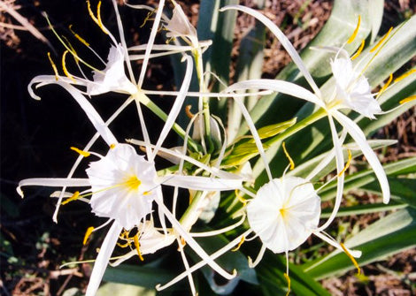 Hymenocallis Occidentalis – Spider Lily