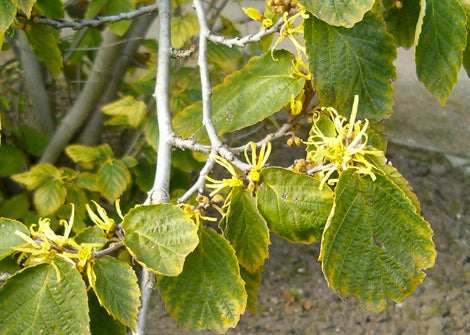 hamamelis virginiana – Witchazel