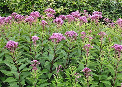 Eupatorium purpureum – Purple joe pye weed