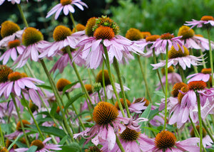 Echinacea purpurea – Broad-leaved purple coneflower