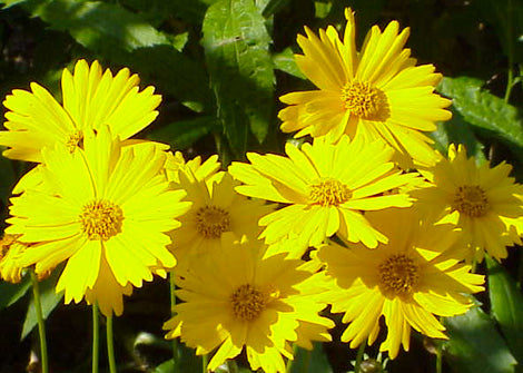 Coreopsis Pubescens – Star Tickseed