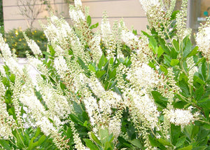 Clethra alnifolia – Ruby Spice/Summersweet