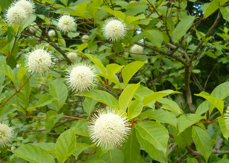 Cephalanthus Occidentalis – Buttonbush
