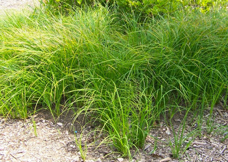 Carex stricta – Tussock sedge