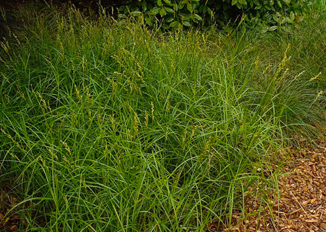 Carex muskingumensis – Swamp Oval Sedge / Palm Sedge
