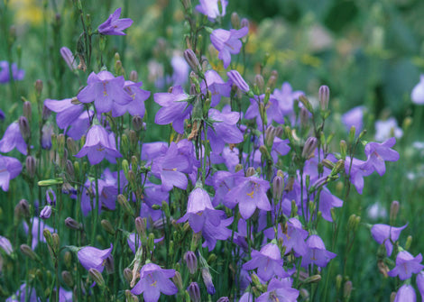 Campanula Rotundifolia – Harebell / Bluebell / Witches' Thimble