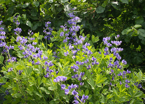 Baptisia australis – Blue false indigo