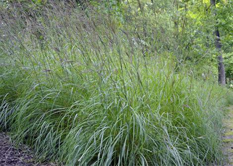 Andropogon gerardii – Big Bluestem