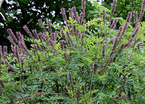 Amorpha Fruticosa – Indigo Bush (false indigo)